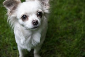 11 Smallest Canine Breeds