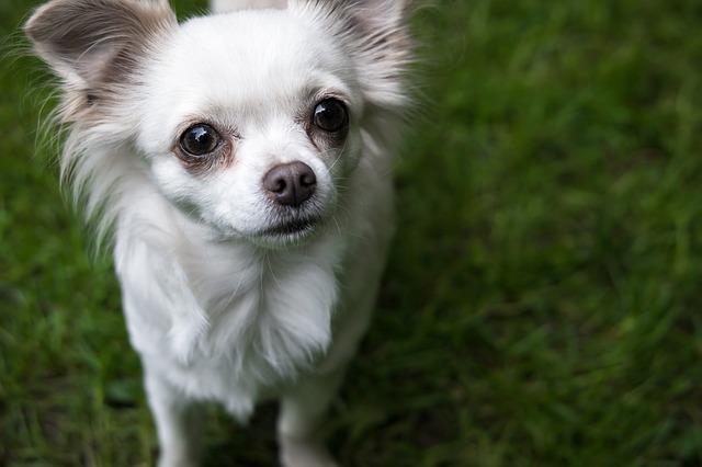 11 Smallest Dog Breeds