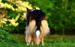 "5 Methods To Handle ""Poop Butt"" In Lengthy-Haired Canine"
