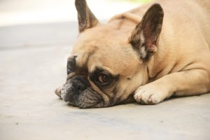 Dry Nostril Is A Widespread Problem With Many French Bulldogs, Right here's How You Can Make Life Simpler On Them