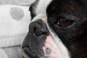 Dry Nostril Is A Frequent Situation With Many Boston Terriers, Right here's How You Can Make Life Simpler On Them