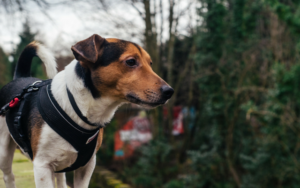 6 Doable Causes Why Your Canine Hates Their Harness
