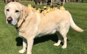 Senior Pooch Turns into Foster Dad To 9 Orphaned Ducklings