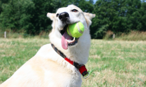 How To Educate Your Canine To Fetch & Retrieve