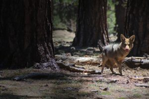 Coyote Assaults On Canine Are Rising In The U.S. — Right here's How To Hold Your Pet Protected