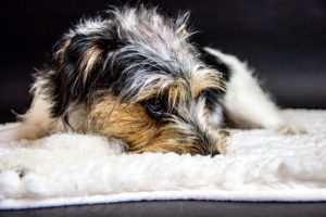 eight Refined Indicators Your Canine Is In Ache