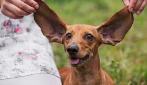 Is Your Canine's Breed Listed Right here? Then Make Positive You Clear Their Ears WEEKLY