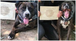 Shelter Canine Turns into State's First Rescue Pit Bull K9 & She's Already Busting Criminals