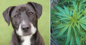 four Causes Senior Canine House owners Are Flocking to CBD Oil