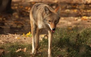 The First 15 Seconds Of A Coyote Assault Are Essential  – Right here's How To Shield Your Canine