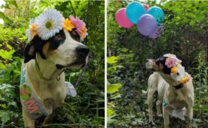 Pregnant Foster Canine Is Handled To A Lovely Maternity Picture Shoot
