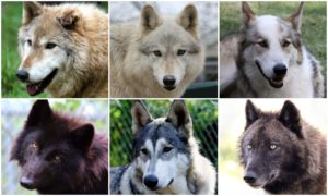 Nonprofit Wolf Sanctuary Offers Rescued Wolf Canines A Probability At A Actual Life