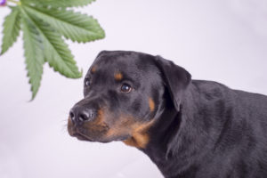 5 Causes CBD Oil For Canines Is Exploding In Recognition