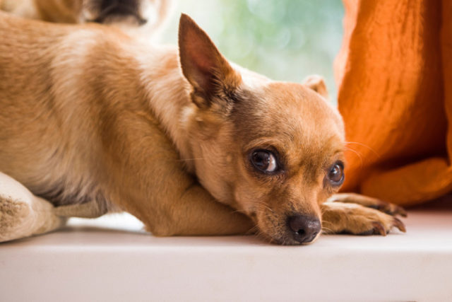 Can Dogs Vomit From Stress