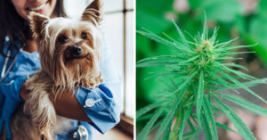 CBD for Canine: What Scientific Trials or Scientific Research Have Been Carried out?