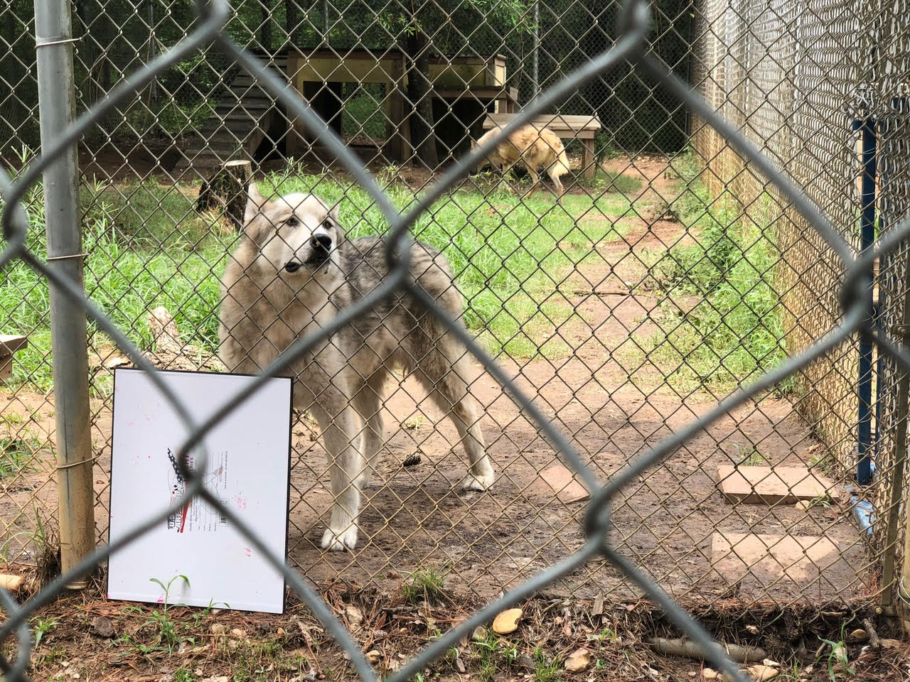 Nonprofit Wolf Sanctuary Gives Rescued Wolf Dogs A Chance At A Real Life