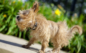 The Cause Why Your Canine Shakes Off