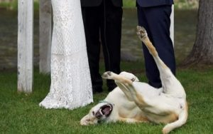 Canine Finest Man Steals The Present Throughout His Dad and mom' Wedding ceremony Vows