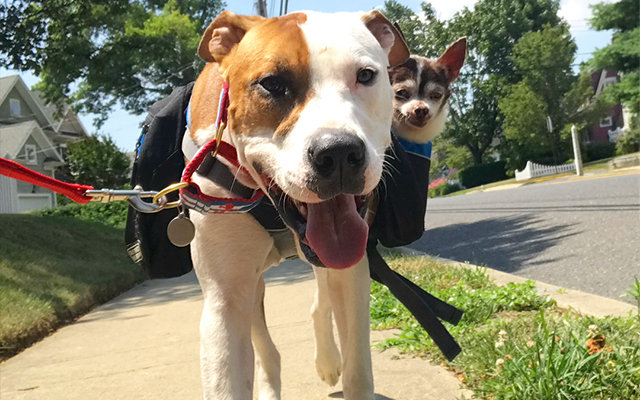Paralyzed Chihuahua Has 2 Pit Bull Nurses To Carry Him Through Hard Times