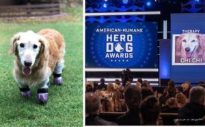 Canine Raised For Meat Loses All four Paws However Wins Huge At Hero Canine Awards
