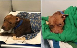 Huge Robust Shelter Pooch Loves Being Tucked In Like A Child Every Evening