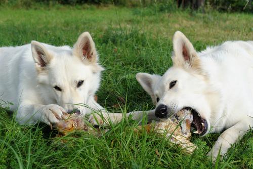 dogs chewing bones