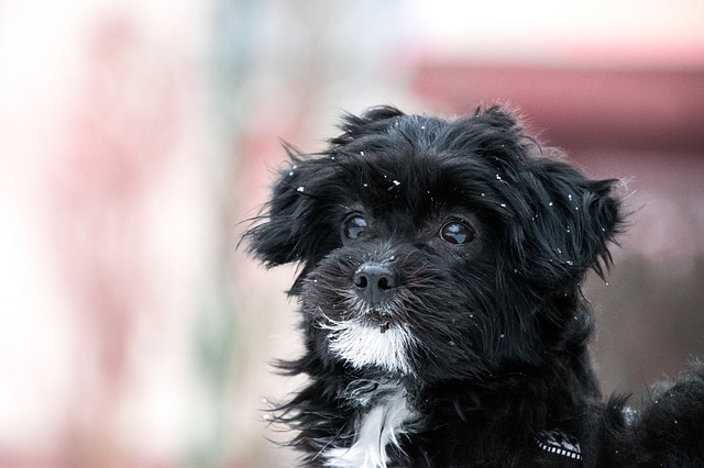 Do Hypoallergenic Dogs Really Exist?