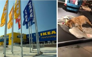 Italian Ikea Store Invites Stray Dogs In From The Cold K 9 Specialist