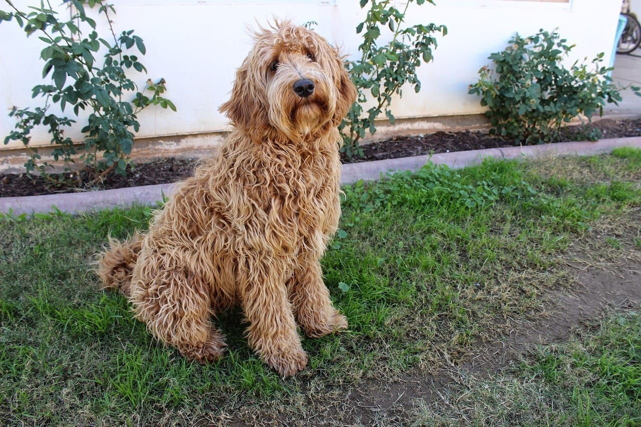 labradoodle-dog-breed
