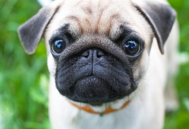 male dog names pug