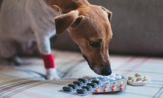 Dog with Benadryl tablets