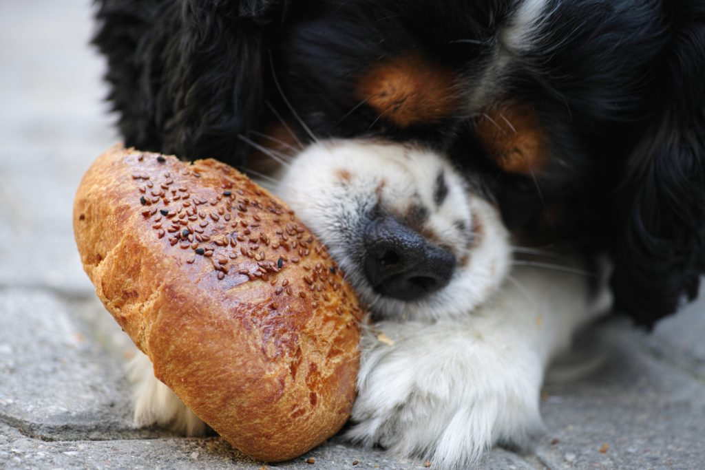 puppy eating bread