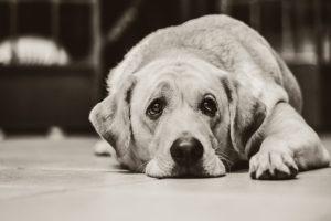 sad dog lying down