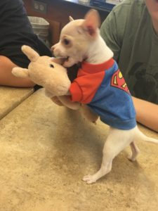 Tony Hawk, the super hero pup, showing his cape off for everyone to see. (Photo by Austin Animal Center)