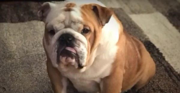 38138819 Another English Bulldog Dies at PetSmart Grooming. That's 32 Deaths ...
