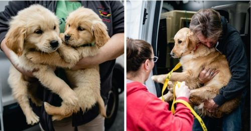 28 Golden Retrievers Rescued From MA Breeder Were Living In