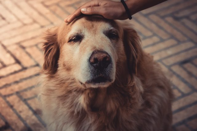 sundowners syndrome in dogs