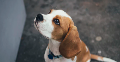 Beagle looking upward