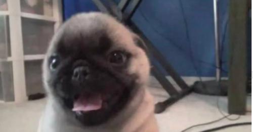 Ernie the pug