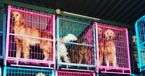 Golden Retrievers rescued from China