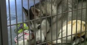 Husky at a shelter