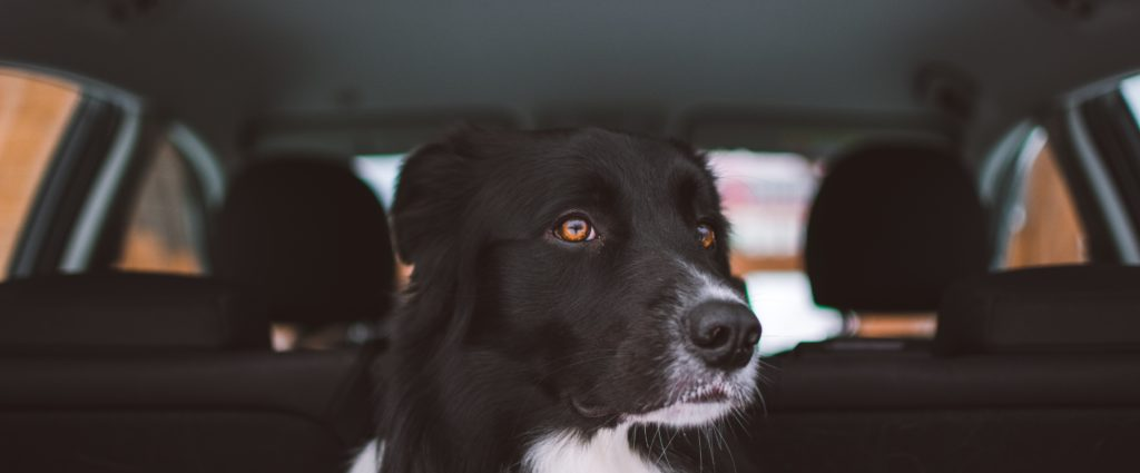 Dog staring out car window