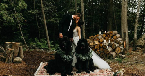 Newfoundland Dogs at wedding