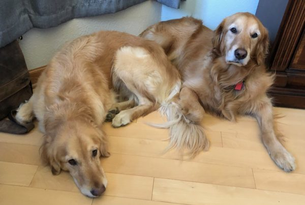 My two golden's