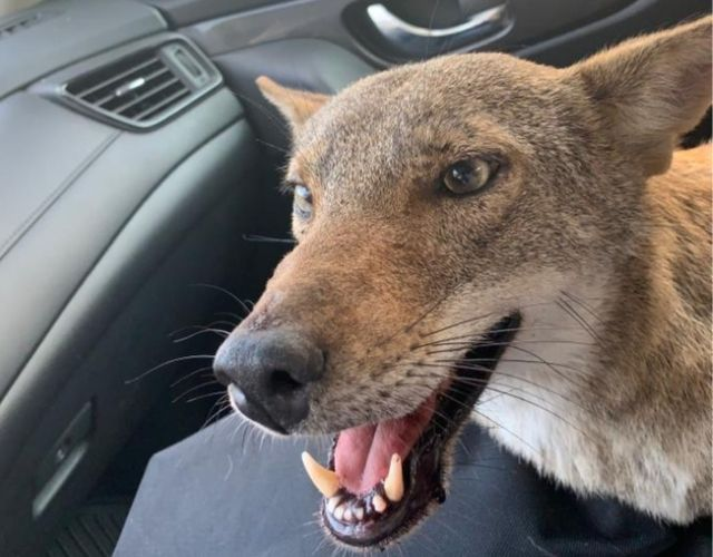 coyote rescue