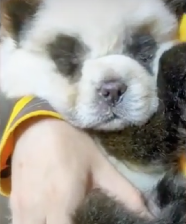 Dogs Dyed To Look Like Pandas Stir Up