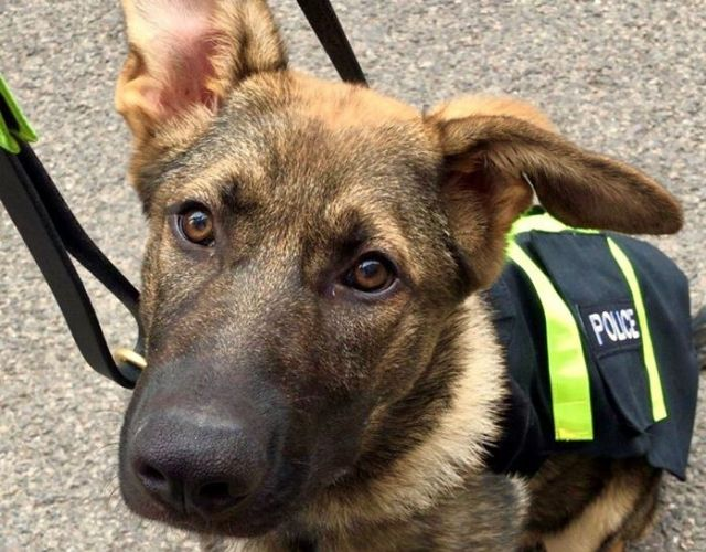 custody canine