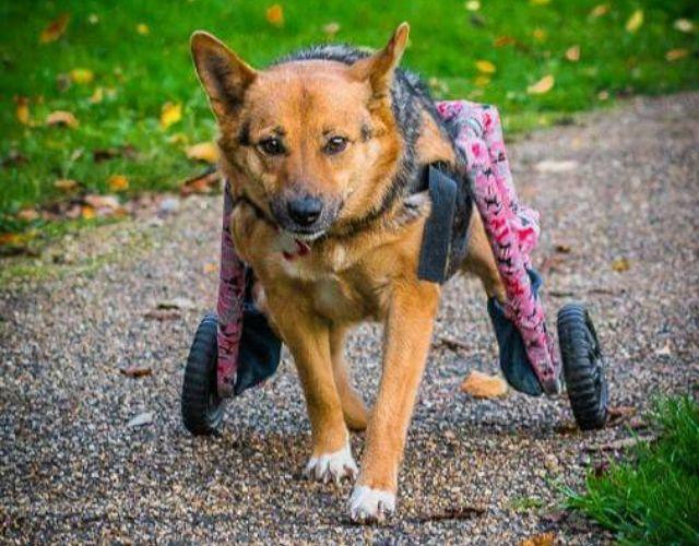 wheels to paws