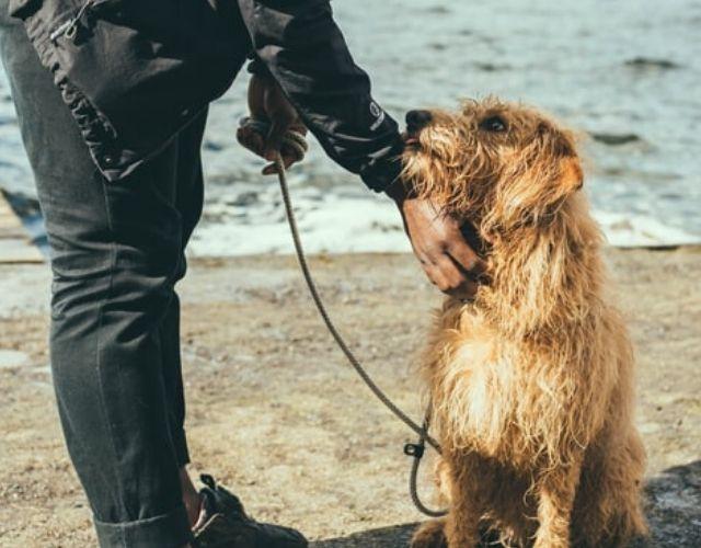 dog domestication