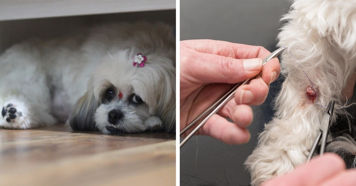 Dog Skin Cancer What Every Owner Should Know